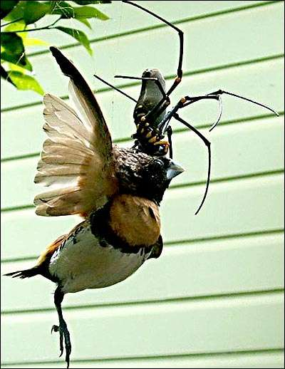 Bird-Eating Spiders