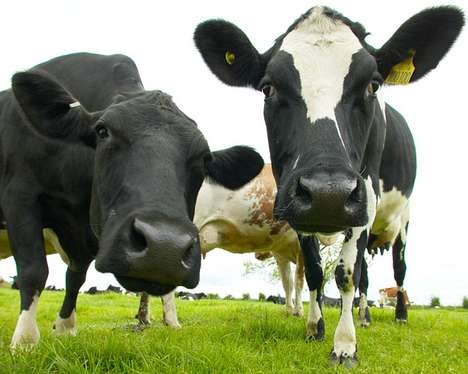 Low-Carbon Cows - These Eco-Friendly Cows Consume a Special Diet that Reduces Nitrous Emissions