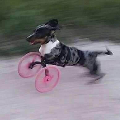 3D-Printed Dog Wheelchairs - Trevor Byers Designed a Helpful Accessory for Legless Canines