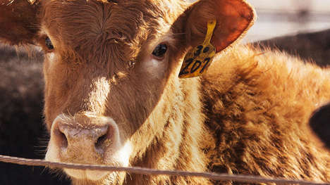 Livestock-Monitoring Wearables - These Smart Ear-Tags Help Farmers Monitor Their Animals
