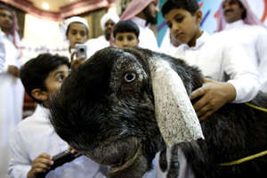 The 'Most Beautiful Goat' Competition