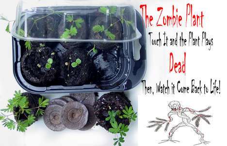 Undead Novelty Plants - The 'Zombie Plant' Plays Dead and Comes Back to Life