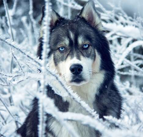 Enchanting Husky Photography - Amanda Tromp Captures Fairy Tale-Like Images of Her Pet Kyro