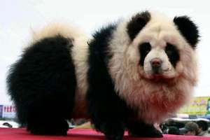 Meet the Panda Dog