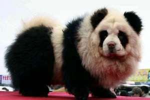 Meet the Panda Dog
