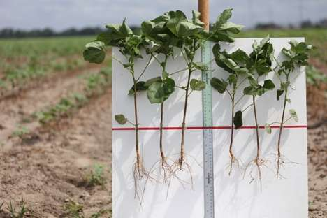 Biologically Enhanced Cotton Seeds - 'Indigo Cotton' Increases Crop Yields and Reduces Water Usage