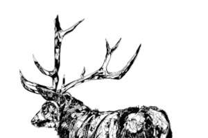 Scottish Stag and Owl Drawings By Susie Wright
