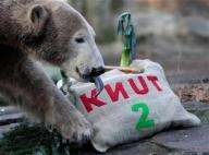 Capitalizing on Animal Fame - Knut the Polar Bear is the Latest Victim of Celebrity Betrayal