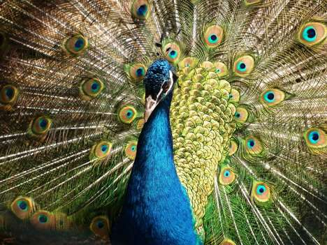 Peacock-Inspired Camouflage Technology - Researchers at Harvard SEAS Developed a Peacock Camo System