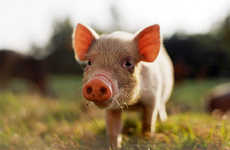 54 Pig-Inspired Innovations