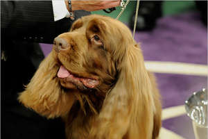 10-Year-Old Sussex Spaniel Wins Westminster Dog Show