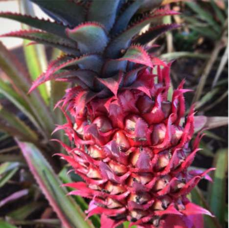 Pink-Colored Pineapples - These Pineapples Get Their Rosy Hue From Genetic Modification