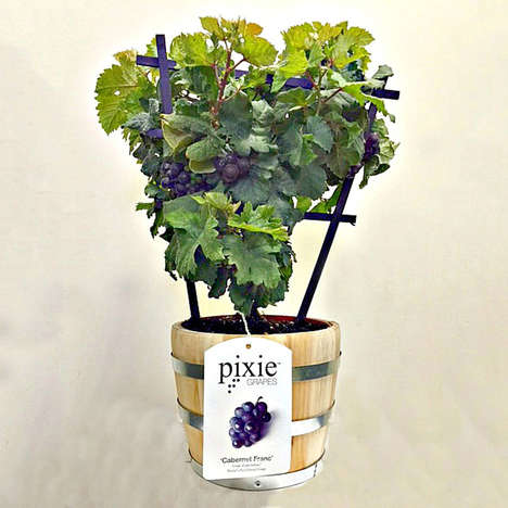 Miniature Wine Grape Plants - The 'Pixie Grapes' Planter Grows Delicious Grapes to Enjoy Anytime