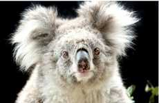 Animals with Media Agents - Sam the Australian Koala is Nature World's New Superstar