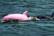 Pink Dolphins