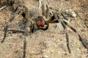 Deadly Brazilian Wandering Spider On Holiday, in Your Groceries