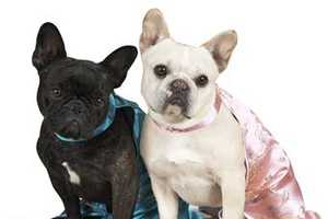 'The Daily Wag' is for Martha Stewart's French Bulldogs