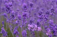 Lavender Proven To Naturally Reduce Stress and Anxiety