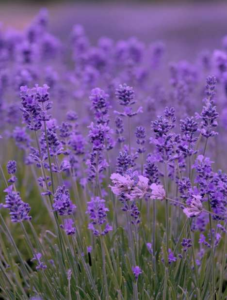 Fear-Killing Flowers - Lavender Proven To Naturally Reduce Stress and Anxiety