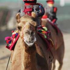 Robo-Jockey Camel Riders