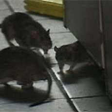 Rats At KFC-Taco Bell, NYC Wreak Havoc For Yum