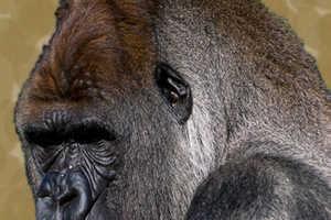 Inked Monkeys, Apes & Gorillas Show Evolution of Body Mods