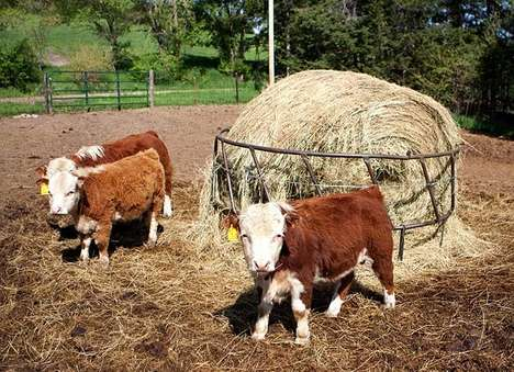 Itty-Bitty Bovines - Farmers Downsize Flocks With Miniature Hereford Cows