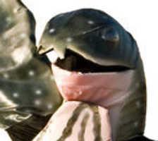 Mr Leatherback Saves His Species by Befriending Humans