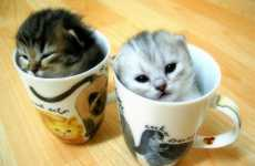 Teacup Kittens Come From Extensive Breeding Methods