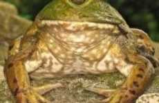 24 Frog-O-Vations - From Reptile Bags to Sensual Frog Licking
