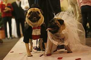 Two Pugs Tie the Knot In a Pet Store, Complete With Marriage Certificate