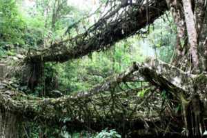 Cherrapunji's Root Passageways Prove Eco Design Isn't New