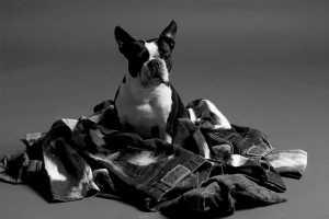 Boston Terrier Advertises Stylish Jeans for Autumn/Winter 2009