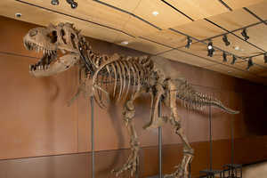Giant Tyrannosaurus-Rex Remains Are Up for Auction