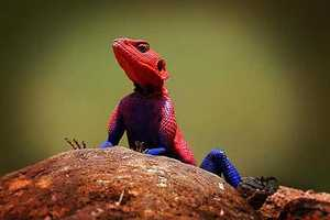 Was Marvel's Spiderman; Inspired by Kenya's Rock Agama Lizard?