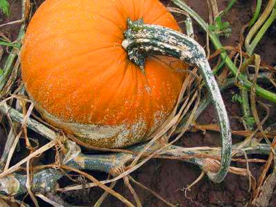 Weather-Affected Pumpkin Production