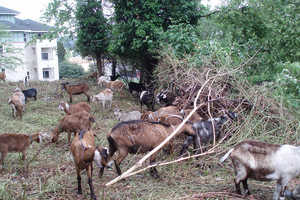 Rent-a-Ruminant Has Goats Eating Invasive Plants
