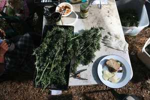 Mathieu Young Captures the Northern California Pot Harvest on Camera