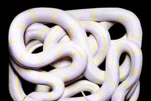 Vibrant Photos of Snakes by Guido Mocafico