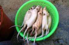 Peru Rat Crisis