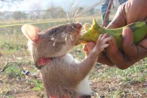 Herorats are Latest in Landmine Detection Tactics