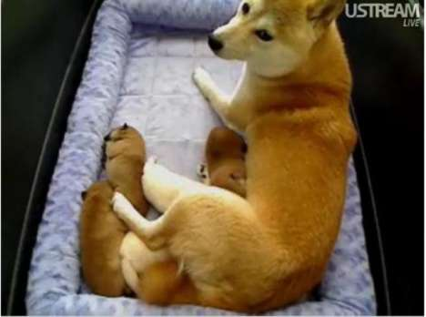 Puppy Spy Cams - With a New Litter, the Shiba Inu Puppy Cam Changes Everything