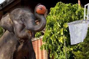 Basketball-Playing Elephants Take Thailand by Storm