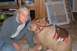 Capybara Pets May Replace Popular Purse Poodles