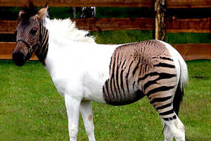 Zorses Are What Happens When Zebras and Horses Have Unprotected Sex