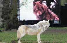 Howling Movie Screenings - The World Wolf Premiere has Wolves Watching 'New Moon' on DVD