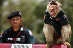 Thailand Cuts Costs by Hiring Five-Year-Old Santisuk, a Macaque Police Officer