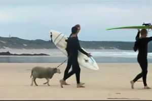 Mildred the Surfing Sheep Takes on the Waves for  Finisterre