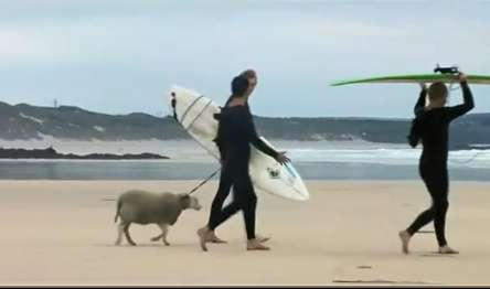 Viral Surfing Sheep - Mildred the Surfing Sheep Takes on the Waves for  Finisterre