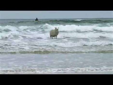 Viral Surfing Sheep